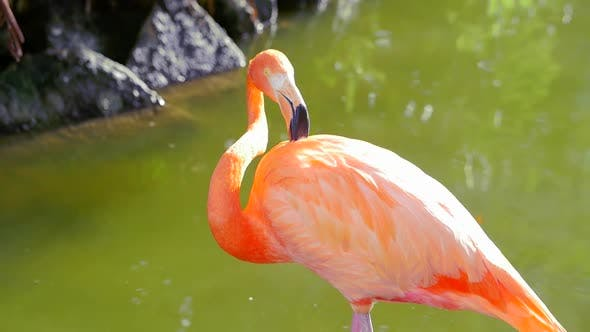 Thumbnail for Flamingo Shaking Head And Cleaning Itself While Standing In Water