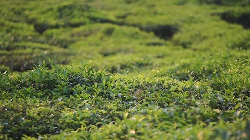 Panoramic view of tea leaves in a plantation in Munnar, India