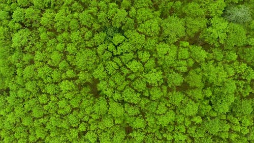 Top View of Pine Trees Forest