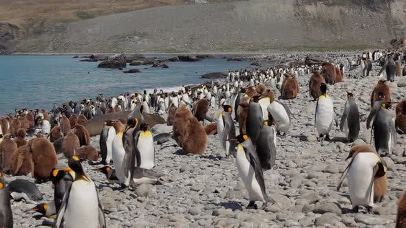 Thumbnail for King Penguins On South Georgia Island