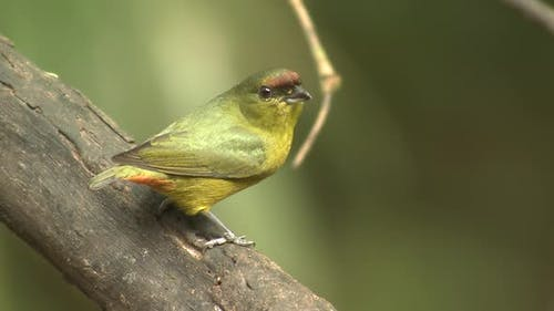 Olive-backed Euphonia Female Adult Lone Perched Flying in Costa Rica