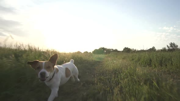 Thumbnail for Jack Russell Terrier Dog Runs Across The Field With Green Grass At Sunset