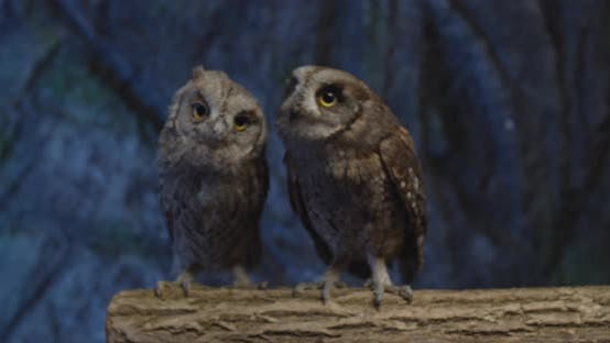 Thumbnail for Adorable Little Owls with Big Eyes on a Branch, Flapping Wings,