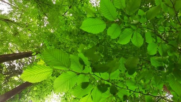 Thumbnail for Spring Beech Leaves