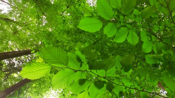 Spring Beech Leaves