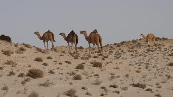 Thumbnail for Herd of dromedary camels walking away