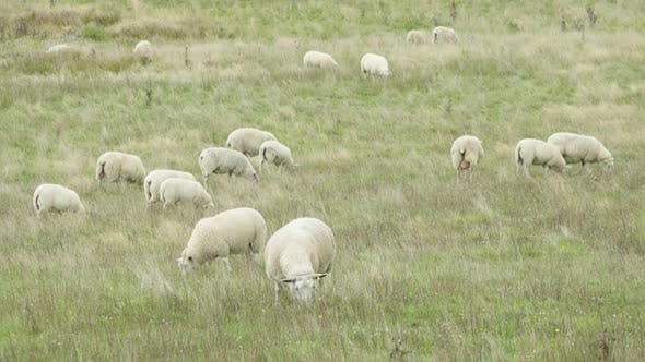 Thumbnail for A Herd of Sheep Eats in a Field of Tall Grass.