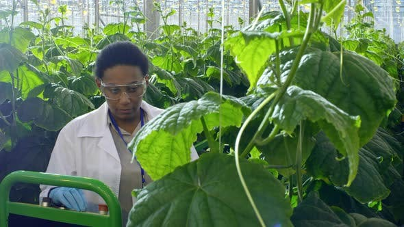 Cover Image for African Agronomist Working in Greenhouse