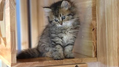Cute Persian Playing On Cat Tower