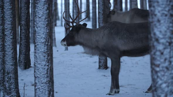 Thumbnail for Two Noble Deer Standing and Smelling Around in a Winter Pine Forest in Finland