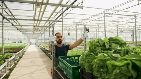 Thumbnail for Farm Worker Pushing a Cart with Green Salad After Harvest