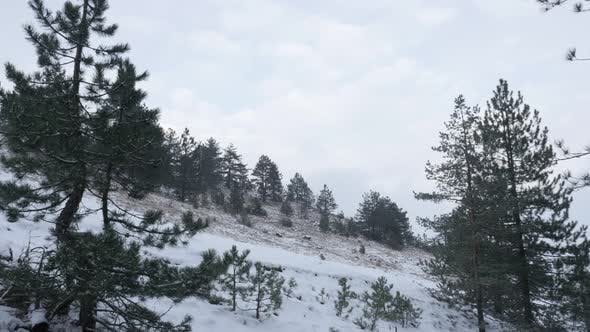 Thumbnail for Winter landscape with coniferous woods 3840X2160 UHD footage - Falling snowflakes  over cone-bearing
