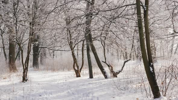 Cover Image for A Path in a Beautiful Winter Forest, the Trees Are Covered with Snow