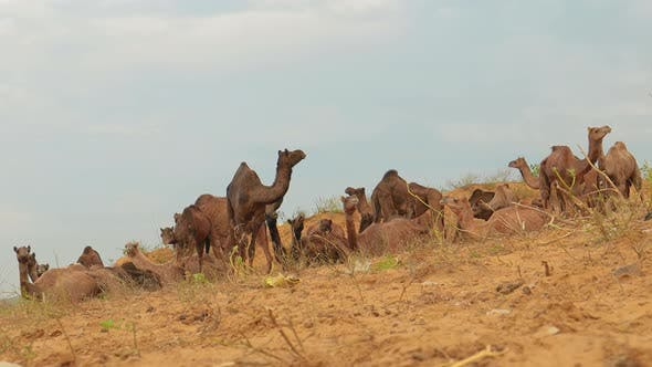 Thumbnail for Camels at the Pushkar Fair, Also Called the Pushkar Camel Fair or Locally As Kartik Mela