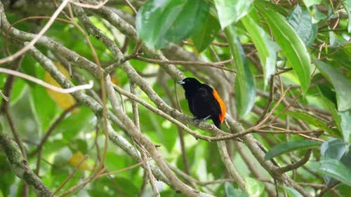 Passerini's Tanager Male Bird in the Rain Forest