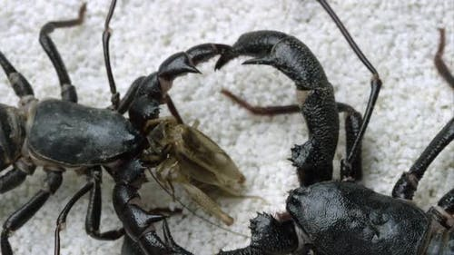 Extreme tight shot of two Giant Vinegaroons fighting over a bug to eat.