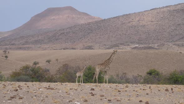 Mother and Baby Giraffe Together on A Dry Savanna