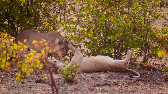 Thumbnail for African Lion in Kruger National Park, South Africa