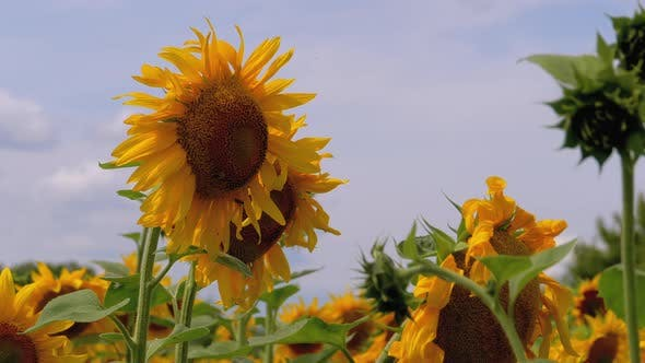 Thumbnail for Sunflowers in the Field Swaying in the Wind