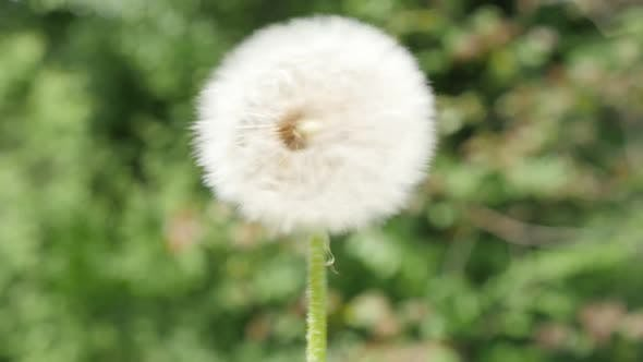 Thumbnail for Blowball dandelion  seed head flying from flower on green natural background slow motion 1080p FullH