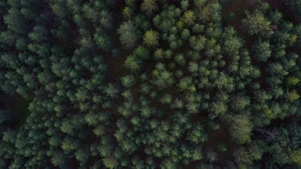 Abundant Pine Trees Surrounding the Forest in Norway