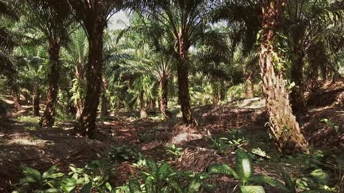 Moving in Oil Palm Tropical Forest, Thailand