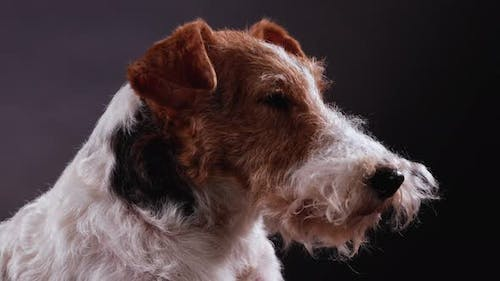 Profile Portrait of the Muzzle of a Dog Fox Terrier Breed in the Studio on a Gray Black Gradient