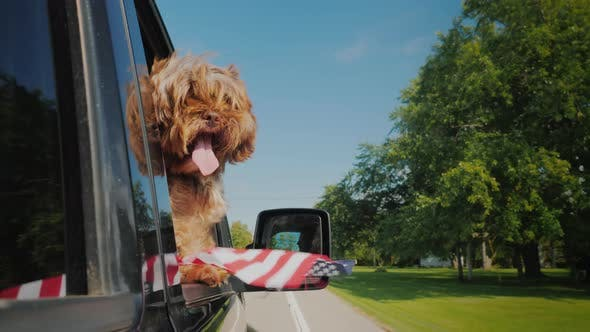 Thumbnail for A Dog with an American Flag Looks Out the Window of a Car