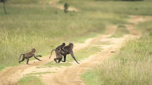 A Family Of Black Baboons Crossing The Dirt Road Going To The Grassland On A Warm Weather In Kenya.