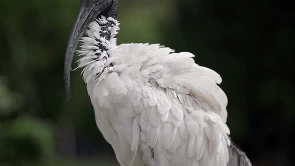 Schönes Ibis mit schwarzem Kopf und weißen Federn.