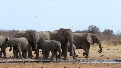 herd of African elephants drinking at a muddy waterhole