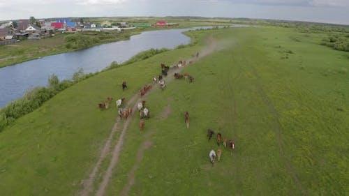 A Herd of Horses Gallops Through a Green Meadow Along the River