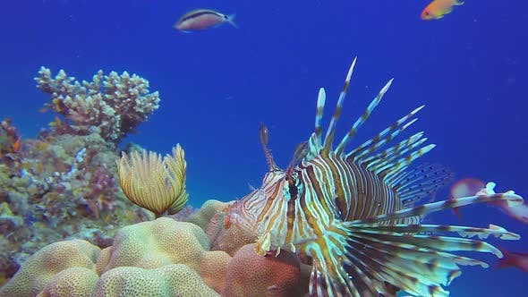 Thumbnail for Soft Coral Tube Worm and Lionfish