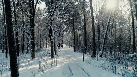 Winter Pines Forest