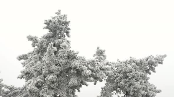 Pinewood Tree in Winter