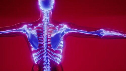 Transparent Human Body with Visible Bones