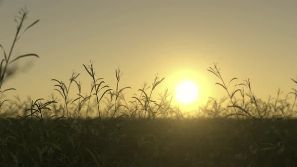 Thumbnail for Waving Wild Grass On a Sunset