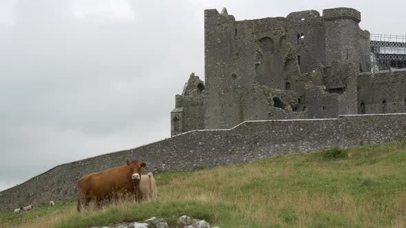 Thumbnail for Animals standing by the Rock of Cashel