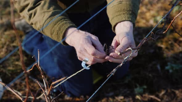 Thumbnail for Pruning Grapes in Late Winter or Early Spring Season, Close-up Shot