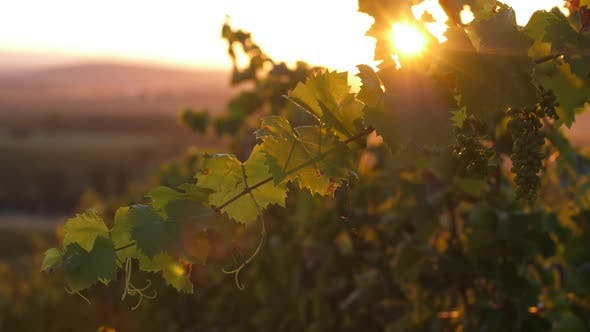 Sunset in the Winery