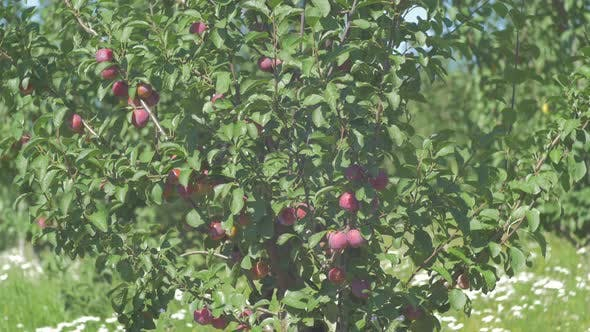 Thumbnail for Tilt up view of a plum tree