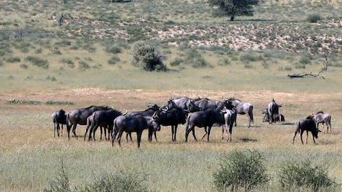 Blue Wildebeest in Kalahari, South Africa