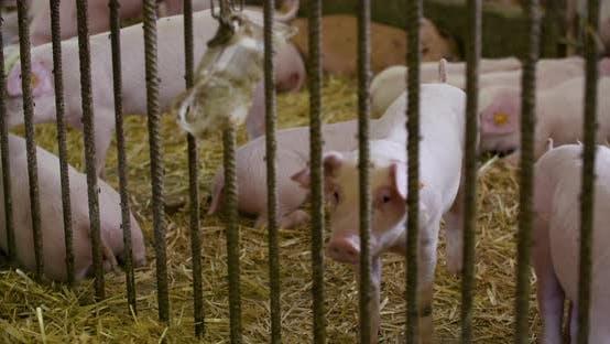 Thumbnail for Pigs on Livestock Farm, Pigs Farm, Livestock Farm. Modern Agricultural Pigs Farm