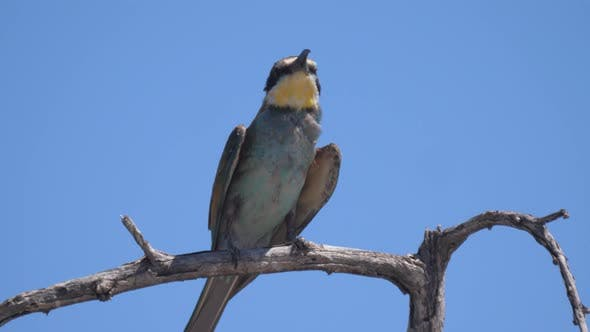 Thumbnail for Bee-eater on a tree branch