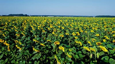 Above of Sunflowers in Blossom