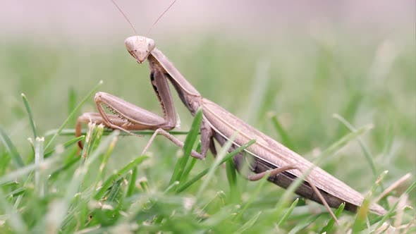 Thumbnail for Praying mantis moving out of focus