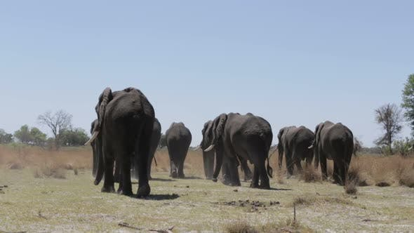 herd of African elephants in african bush going out from waterhole