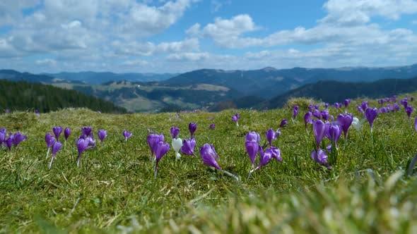 Spring Crocuses in Carpathia Mountains