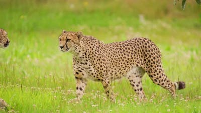 Cheetahs Walking on Grassy Field