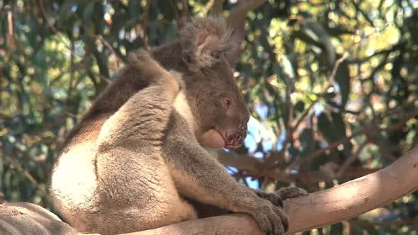 Thumbnail for Itchy koala turning in to sleep in a tree
